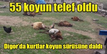 Digor'da kurtlar koyun sürüsüne daldı, 55 koyun telef oldu