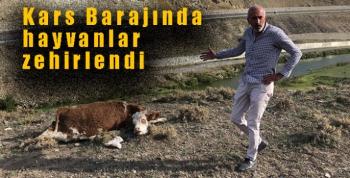 Kars Barajında hayvanlar zehirlendi