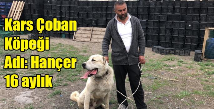 Kars Çoban Köpeği Adı Hançer 16 aylık