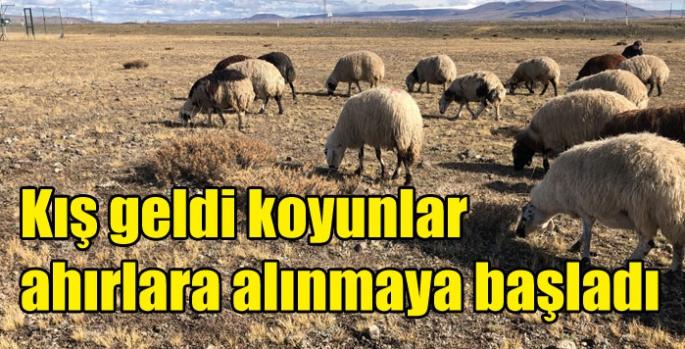 Kış geldi koyunlar ahırlara alınmaya başladı