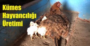 Kümes Hayvancılığı Üretimi