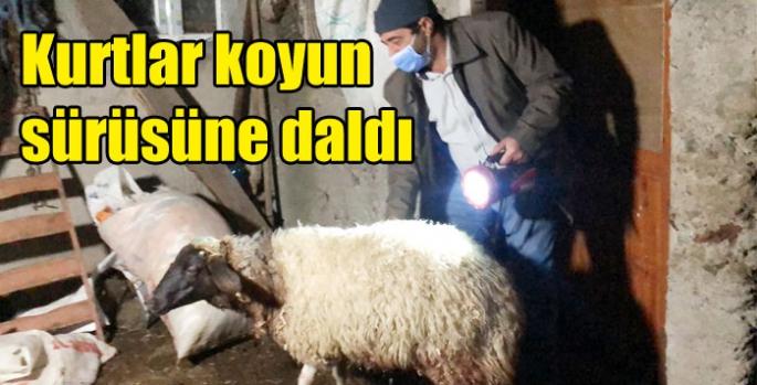 Kurtlar koyun sürüsüne daldı