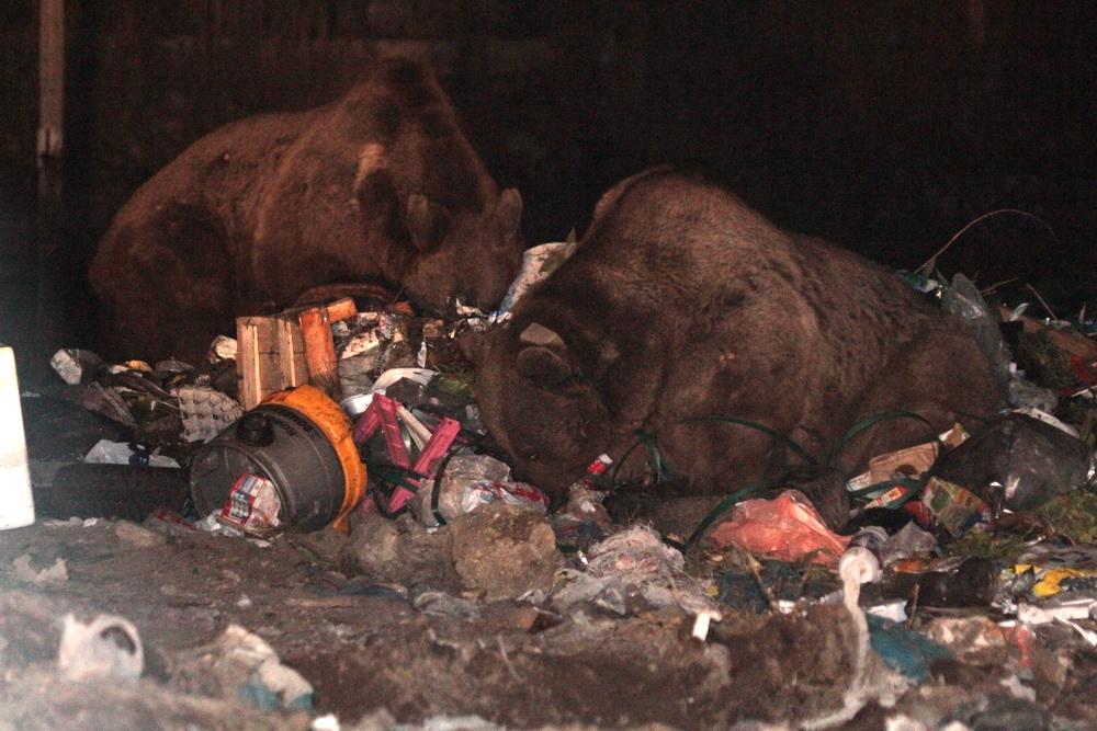 Sarıkamış'ta Boz Ayılar Kış Uykusuna Yattı