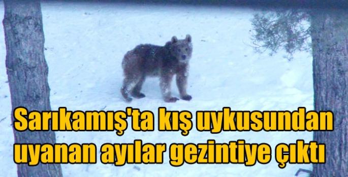 Sarıkamış'ta kış uykusundan uyanan ayılar gezintiye çıktı